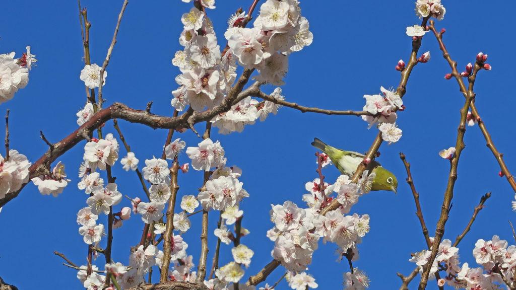 早春限定上野デート ― 梅にウグイス ― 湯島天満宮の梅と不忍池の河津桜が満開